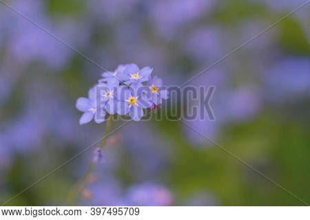 Toned Floral Background With Only One Single Forget-me-not Florets. Bluish Backdrop