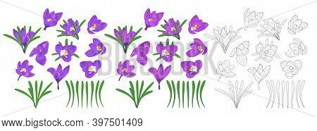 Hand Drawn Mauve, Lilac And Monochrome Crocus Flowers Clipart. Floral Design Element. Isolated On Wh