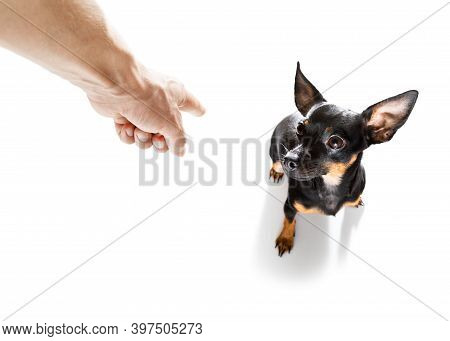 Prague Ratter Dog  Being Punished By Owner For Very Bad Behavior , With Finger Pointing At Dog