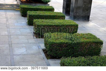 Hedgerow Of Ligustrum Ovalifolium Privet Shrubs Planted In Large Paved Area Sidewalk Pedestrian Zone