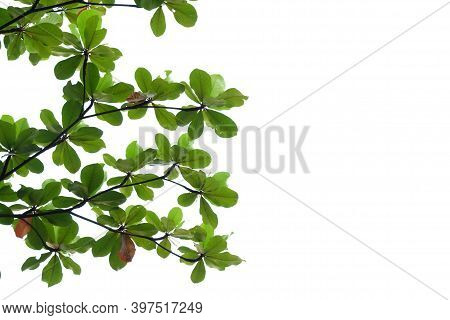 Tropical Indian Almond Tree With Leaves Branches On White Isolated Background For Green Foliage Back
