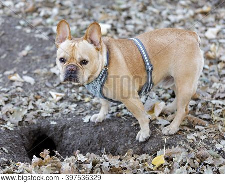 Frenchie On Ground Squirrel Hunt. Hunting Is A Natural Behavior Of Animals Like Dogs That Have Desce