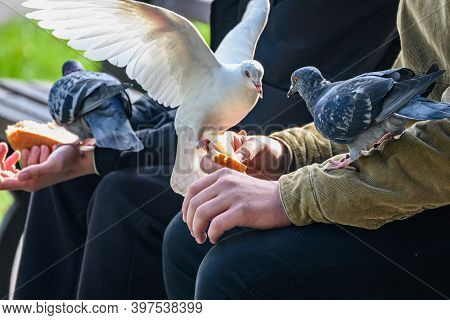 Pigeons Eats White Bread Sitting In The Arms Of A Teenager In The Park.