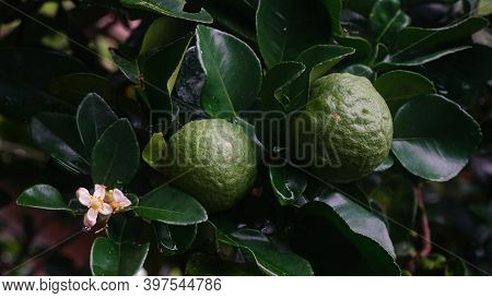 Kaffir Lime Or Citrus Hystrix On The Tree. Focus Selected, Blurry Green Leaves Background