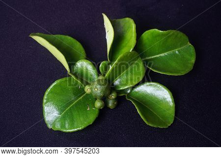 Kaffir Lime Or Citrus Hystrix Small Size And Leaves. Focus Selected, Black Background