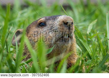 Close Up Of A Groundhog (marmota Monax) Peeking From Its Burrow. Raleigh, North Carolina.