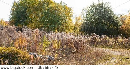 Wilted Goldenrods And Thistles With Deciduous Shrubs In Evening Sunlight In Autumn