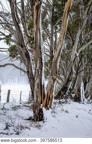 Australian Gum Trees In The Winter Snow Of The Central Tablelands