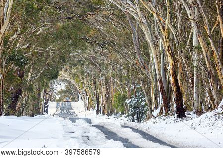 Snow Gum Tunnel.  Trees Arch Across The Road Making A Natural Tunnel.  Snow From Winter Snowfalls St