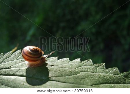 a small Grove snail creeping on a leaf intense illuminated at evening time poster