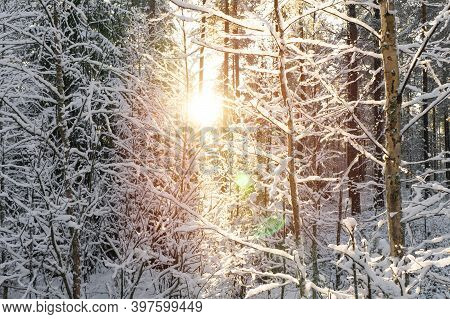 Snowy Winter Landscape Panorama With Forest And Sun Rays. Winter Sunset In Forest. Sun Shines Throug