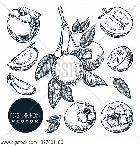 Persimmon Set. Hand Drawn Sketch Vector Illustration. Tropical Fruits On Branch