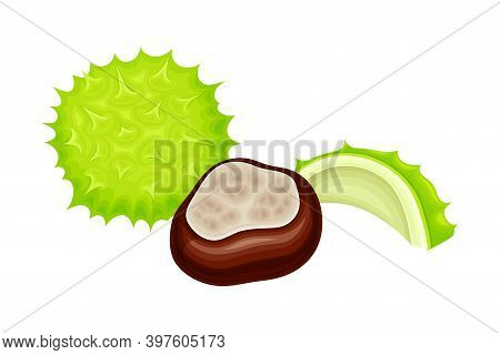 Horse Chestnut Brown Fruit And Green Spiky Capsule Shell Vector Illustration