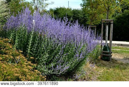 Is A Deciduous Deciduous Semi-shrub. The Home Of This Deciduous Plant Are Areas From Afghanistan Thr