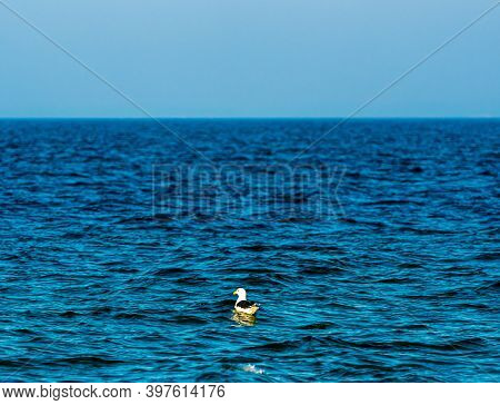 Adult Lonely Seagull Sitting On The Surface Of The Sea.