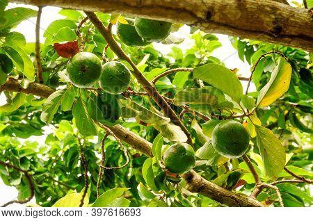 Green Fresh Ripe Avocado (persea Americana) In A Lush Tropical Vegetation