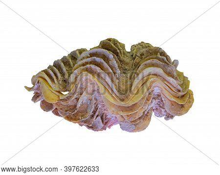 The Shell Of The Bivalve Marine Clam Tridacna (latin Name). Bottom Lit, Isolated On White Background