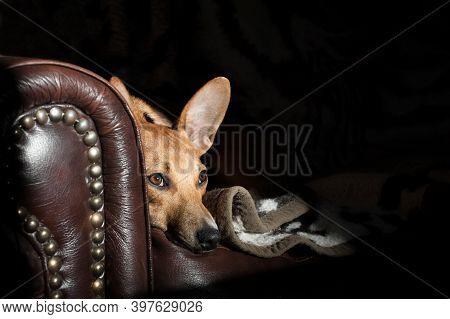 Wide-eyed Dog With Big Ears On A Leather Sofa With Copy-space