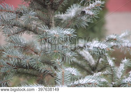 Snow Covered Fir Tree Branch At Sunset. Christmas Background. Winter Theme