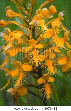 Orange Fringed Orchid