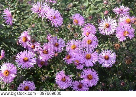 A Close-up Of A Bee-friendly Garden Flowers Aster Alpinus. Blooming Dwarf Pink Alpine Aster With A B