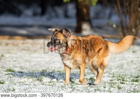 A Portrait Of Large Mixed-breed Stray Dog Sheepdog Taras Off To The Side Against A Winter White Back