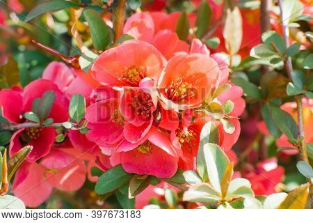 Japanese Flowering Quince Blooms In Spring. Scarlet-red Flowers Of Chaemnomeles Superba Rowallane Qu