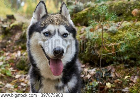 Happy Smiling Husky Dog With Tongue Out Of Mouth. Blue-eyed Playful Siberian Husky Dog. Muzzle In Sa