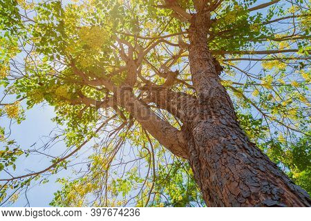 Trunk Of Tree Ratchapruek And Flower Yellow Beautiful In Forest Environment Nature Bottom View