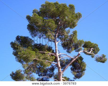 Isolated Pine
