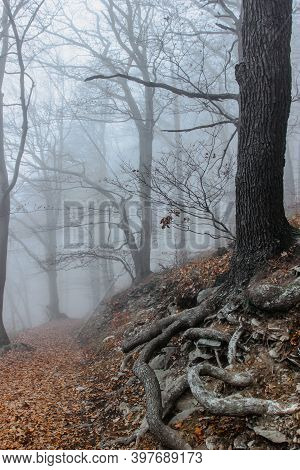 Tree With Twisted Roots In Foggy Forest.amazing Misty Nature.colorful Landscape With Foggy Forest, O