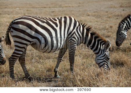 Animals - Zebra
