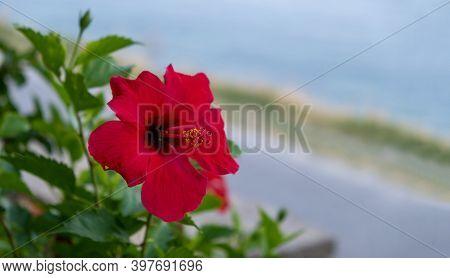 Red Hibiscus, Rose Mallow Flower. Empty, Blur Background, Copyspace.