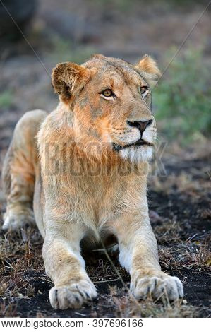 The Lion (panthera Leo), A Young Male In The Sunset. A Young African Lion With A Massive Head With A