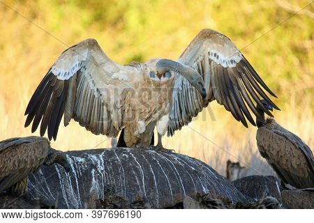 The Cape Griffon Or Cape Vulture (gyps Coprotheres) Sitting On The Remains Of A Hippo.typical Behavi