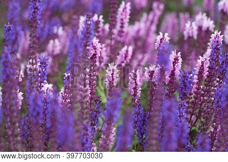 Bright Beautiful Pink And Blue Sage Flowers Blooming In A Field Or Lawn On A Sunny Summer Day, Creat