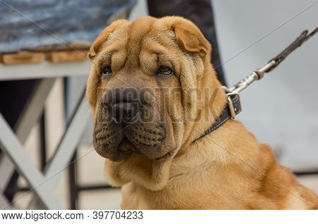 Shar Pei Dog Breed With A Serious Look Close-up Portrait