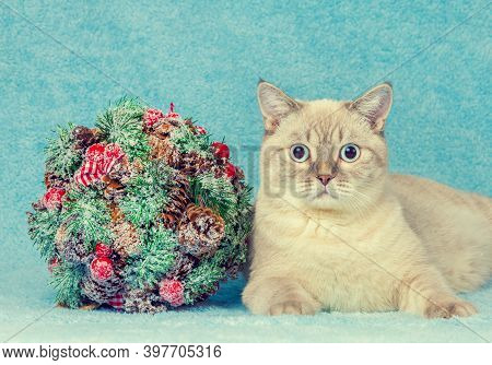 Cat With Christmas Decoration Kissing Bough On Blue Blanket