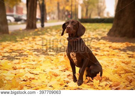 Cute German Shorthaired Pointer In Park On Autumn Day