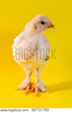 Young Adolescent Light Brahma Chicken Farm Hen On Yellow