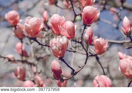 Beautiful Magnolia Tree Blossoms In Springtime. Jentle Magnolia Flower Against Sunset Light.