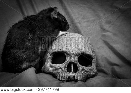 Pet Rat Playing Near Old Decayed Human Skull As Plague Concept