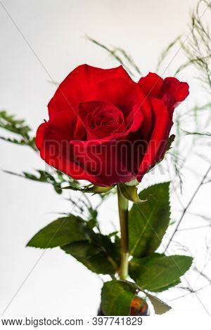 Romantic Red Long Stem Rose For Valentine's Day