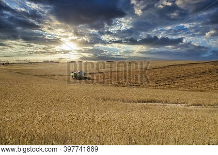 Combine Harvester Working Cutting And Harvesting Wheat Field, Winter Cereals, Alfalfa, Grass, Green