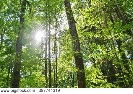 Sunlight In The Green Forest. Sun Beams Through Trees. Forest Of Pine And Oak Trees Illuminated By S