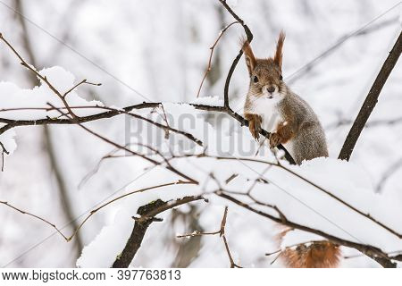 Curious Funny Squirrel Seats On Tree Branch In Forest. Defocused Winter Natural Background