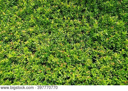 Green Leaves For Background. Beautiful Green Leaves, Eco Concept.