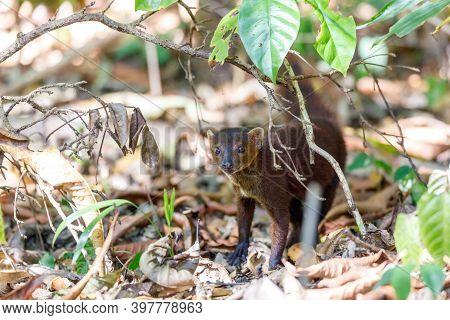 Ring-tailed Mongoose, Galidia Elegans, Subfamily Galidiinae, Carnivoran Native To Madagascar. Farank