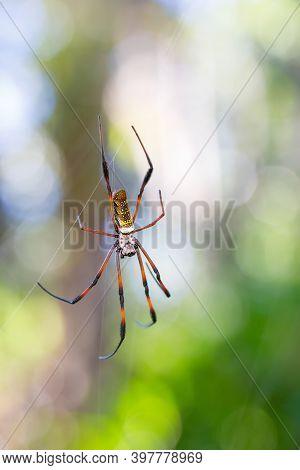 Golden Silk Orb-weaver, Giant Spider On Web. Nosy Mangabe Island, Toamasina Province, Madagascar Wil