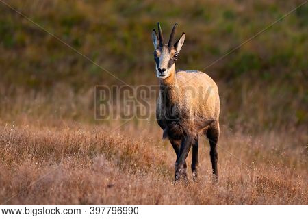 Tatra Chamois With Crossed Legs Facing Camera In The Middle Of Dry Grass.